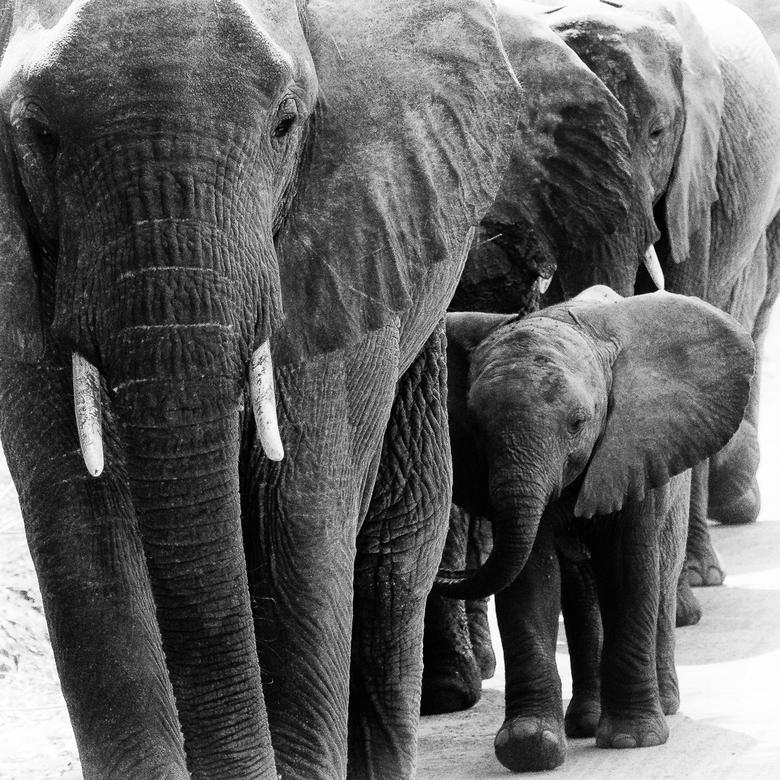 Veilig in de rij - Deze groep olifanten kwam heel dicht langs de auto gelopen in Lake Manyara NP in Tanzania. Mooi om te zien hoe de kleine olifanten