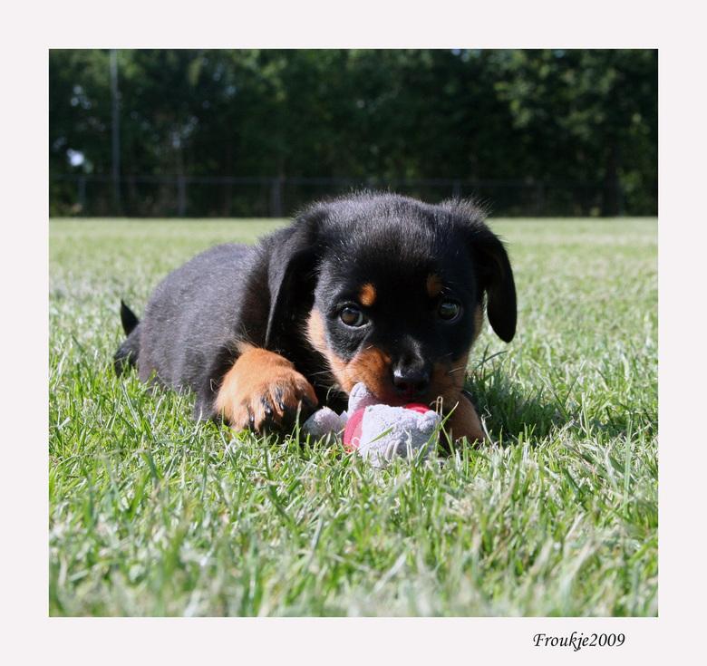 Zora - Dit is Zora een Rotweillerpup .<br /> De hond van de vriendin van mijn zoon.<br /> Bedankt voor alle reacties op mijn vorige foto .<br /> Gr