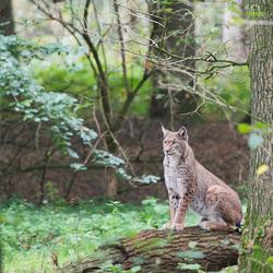 Lynxs