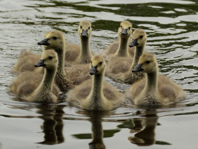 Synchroonzwemmen - Een nest jonge ganzen die er netjes voor gingen zwemmen...