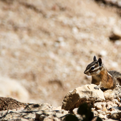 Chipmunk in Bryce Canyon