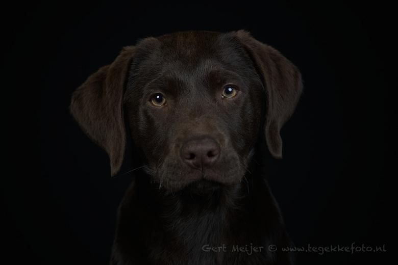 Desie - Desie een 12 weken oude Labrador