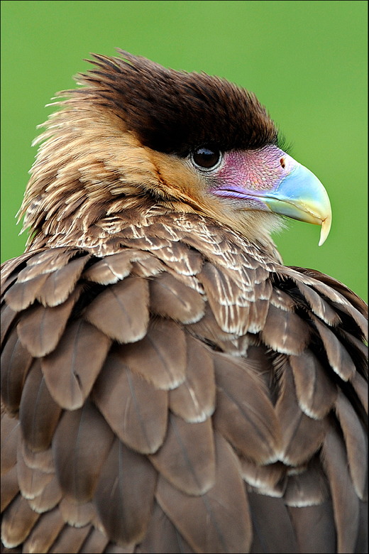 Caracara - Gisteren een roofvogelshow bijgewoond en een portret weten te maken van deze prachtige caracara, een amerikaanse valkensoort die een pracht