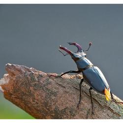 Vliegend Hert