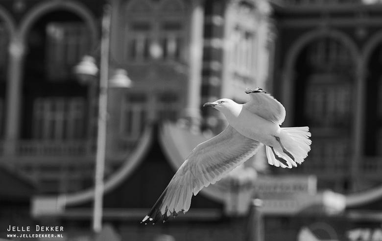 Meeuw in vlucht - Meeuw in vlucht voor het Kurhaus in Scheveningen.