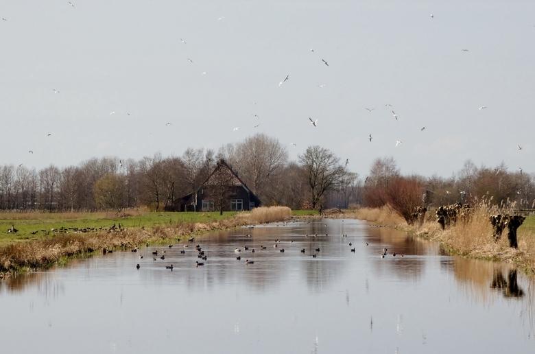 Seagulls - Onrustige meeuwen boven het kanaal met eenden.