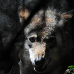 Wolf III