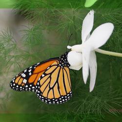 De Monarchvlinder  Danaus plexippus