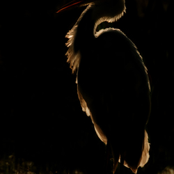 The dark side of the Great Egret
