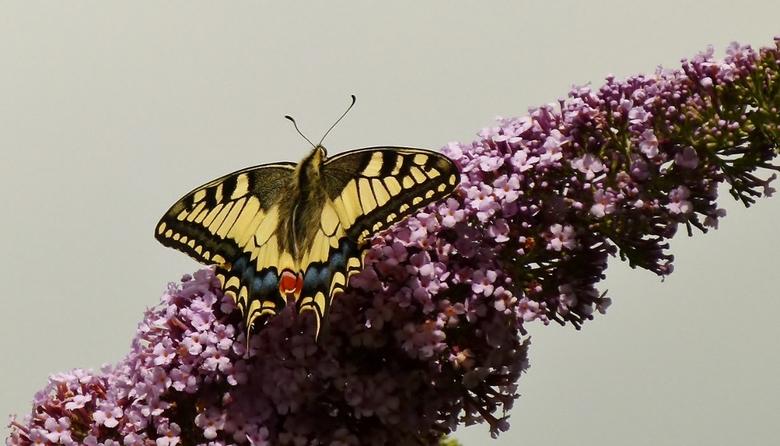 De koningin - Koninginnenpage op de vlinderstruik.