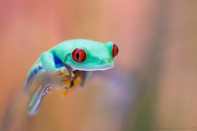 His first shoot - Dit kikkertje heb ik nog niet zo lang.<br /> Een mooie roodoogmaki, en rode ogen heeft hij zeker.<br /> <br /> Zo relaxed als hij