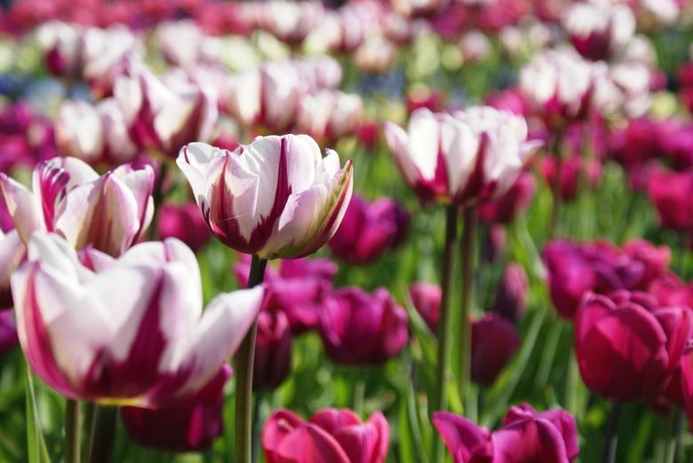 Paarse tulpen -