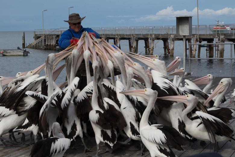 the pelican man
