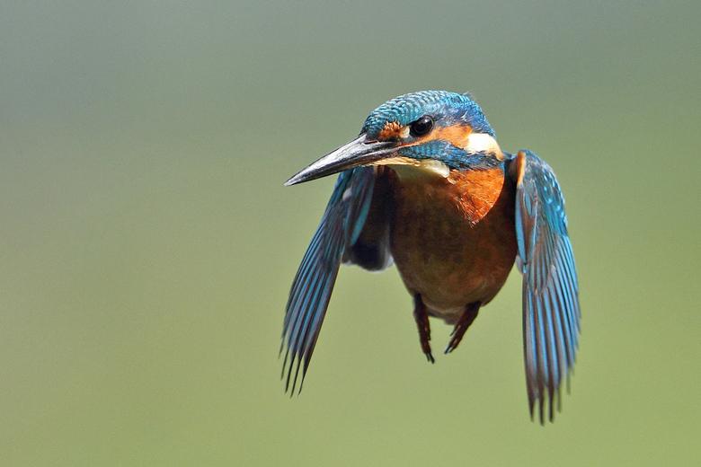 Biddende IJsvogel - Een foto van een poosje geleden, toen ik de kans kreeg een biddende IJsvogel te fotograferen, dit moment duurde maar heel erg kort