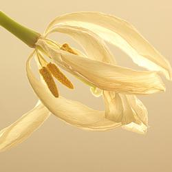 Verdorde tulp