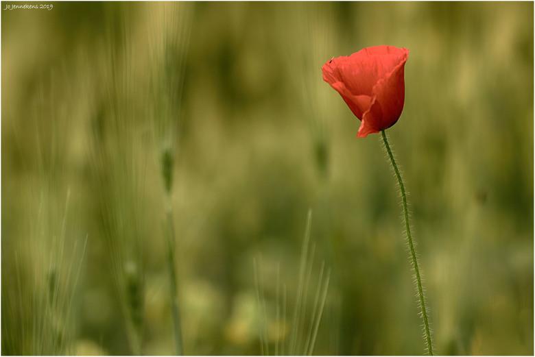 Simply red - Klaprozen (papavers) waren in vroeger tijden echte akkerplanten(akkeronkruiden werden ze genoemd).<br /> Ze konden samen met de Korenblo