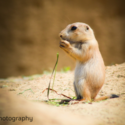 Eating on the prairie (dog)