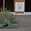 Paleis Het Loo pauw