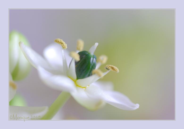Bloem in pastel - Een voor mij onbekend bloemetje. Het is ongeveer 1 cm groot en erg fotogeniek. Wie weet wat het is mag het zeggen...<br /> <br />