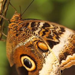 De Morpho vlinder