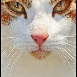 golden eyes ...