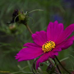 Lila Cosmea bloem