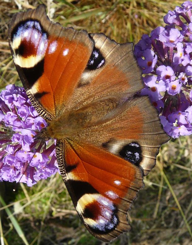 Dagpauwoog - Vondt ik vroeger al een hele mooie vlinder en dat is hij nog steeds. <br /> Die vlinder planten in de tuin werken nu op z&#039;n best<br