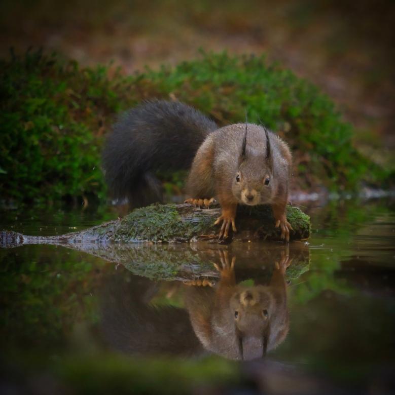 Eekhoorn  -