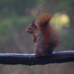 eekhoorntje