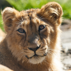 Aziatische leeuwenwelp in Blijdorp