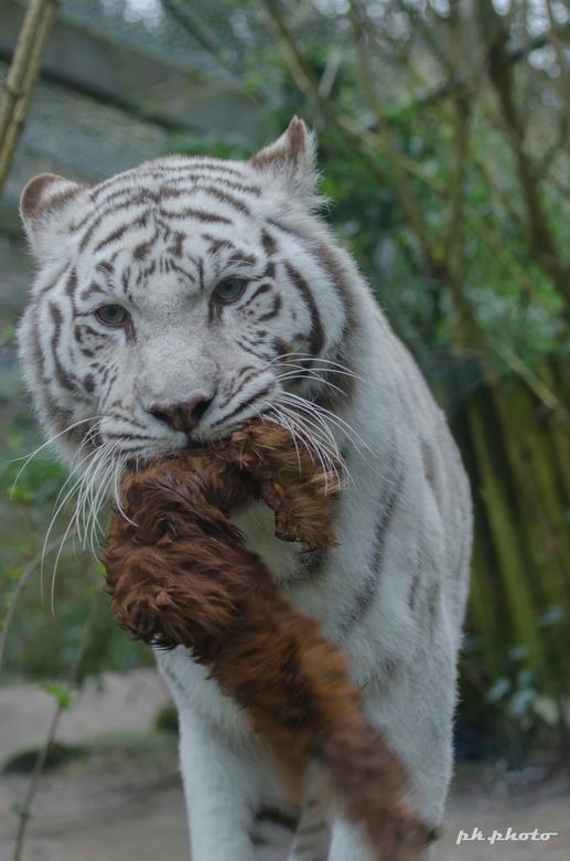 white tiger -