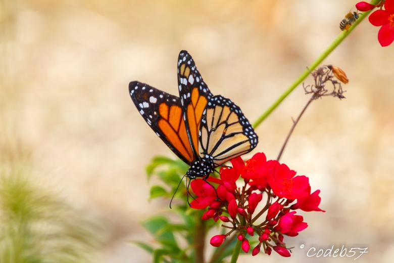 Monarch Vlinder - Deze vlinder ben ik 2 keer tegen gekomen. Volgens mij fladdert deze ook bij ons in Nederland rond.<br /> Heb bewust op rechts ruimt
