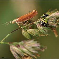 schietmotje(Trichoptera)