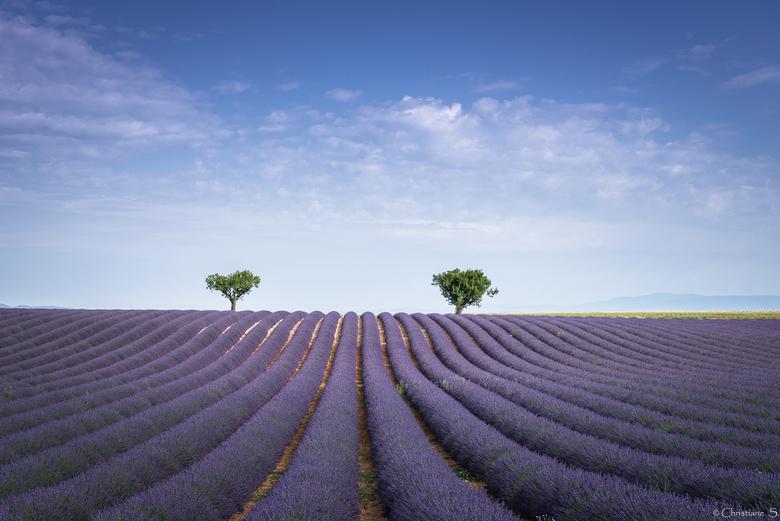 2 Boompjes en een lavendelveld
