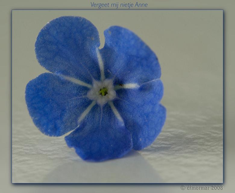Amerikaans ver-geet-mij-nietje - Ooit een stekje gekregen van mijn vriendin Anne.<br /> Zo intens blauw die bloemetjes, dat ik hier even mee moest sp