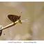 Parelmoervlinder