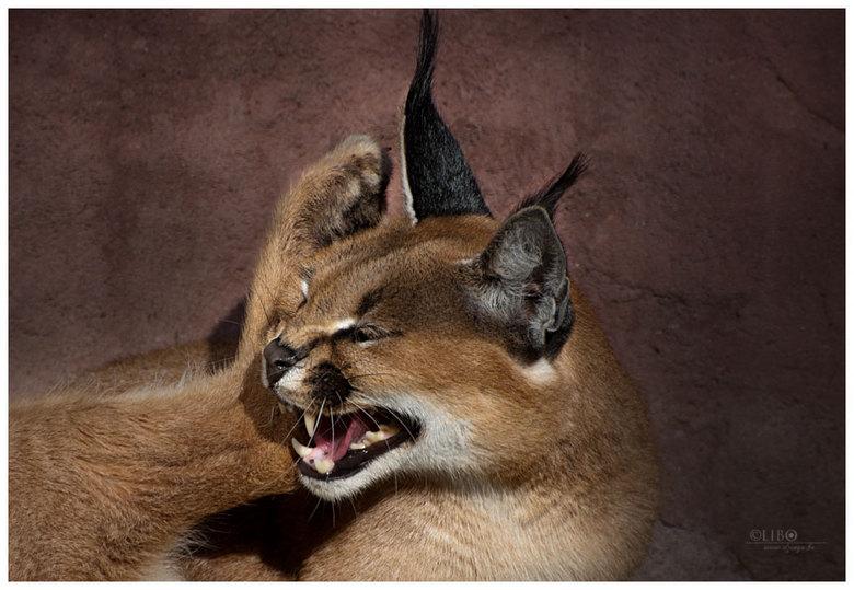 Lynx - In de zoo van olmen