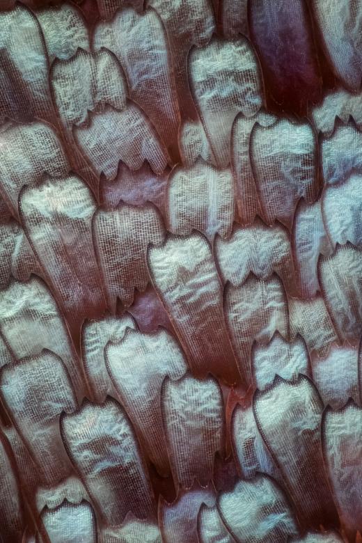 schubben van een vlindervleugel 60x vergroting - Dit zijn de schubben van een vlindervleugeltje op een vergroting van 60x ik heb ca 155 fotos samengev
