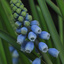 Muscari aucheri