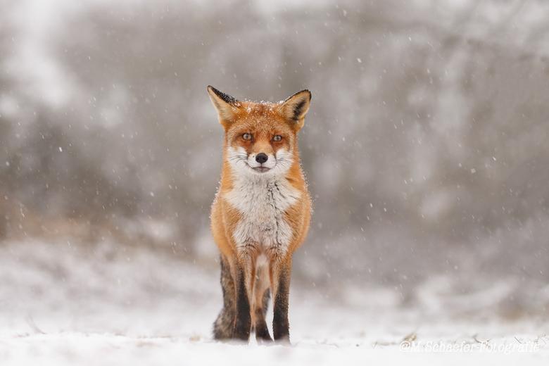 Winter Vos. - De eerste dag sneeuw aan de westkust van Nederland leverde mij dit beeld op aan het eind van de dag.