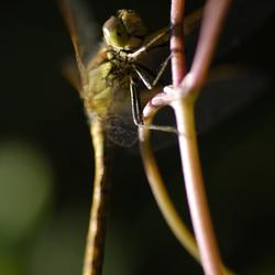 Lachende libelle