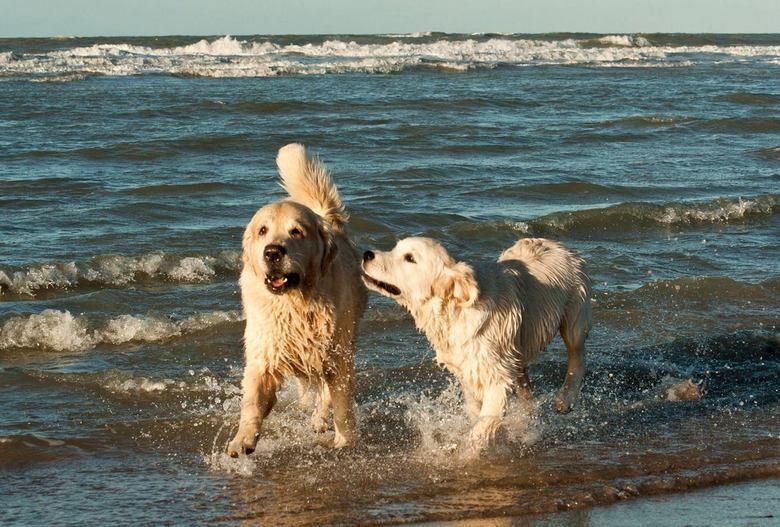 1557163_560443330712636_740809478_o.jpg - 2 goldens op het Zeeuwse strand