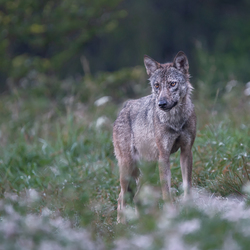 Wilde Europese wolf