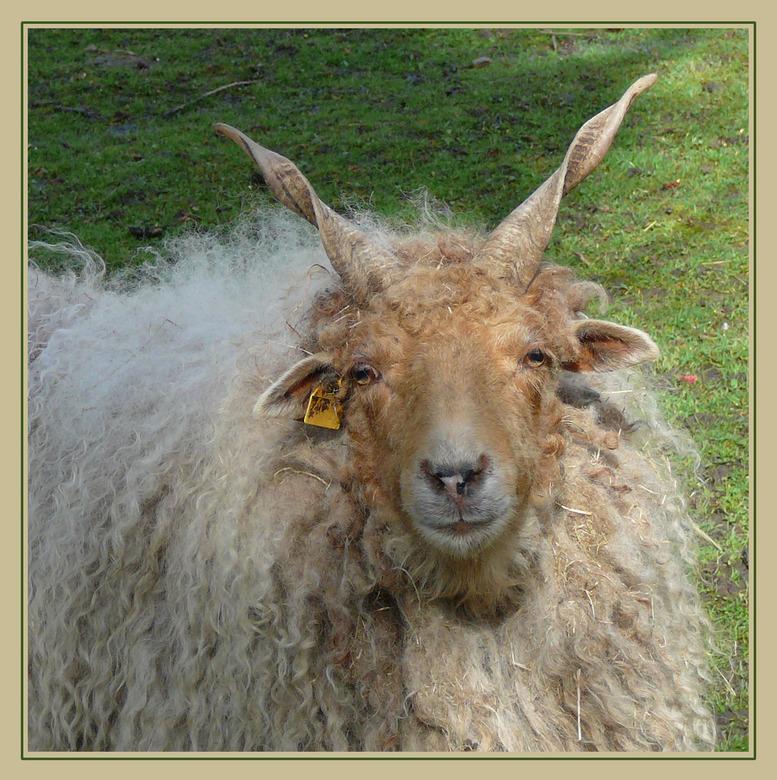 Rackaschaap - Dit schaap en nog twee andere lopen in de kinder boerderij bij ons in de buurt.<br /> <br /> Er zijn reeds zesduizend jaar voor onze j