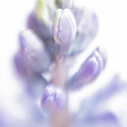 Hyacinth....