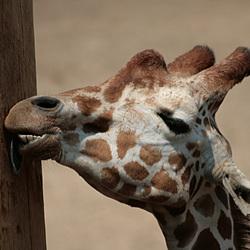 Bewerking: likkende giraf in Dierenpark Amersfoort