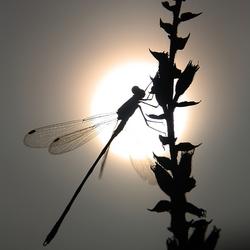 Libelle in avondzon