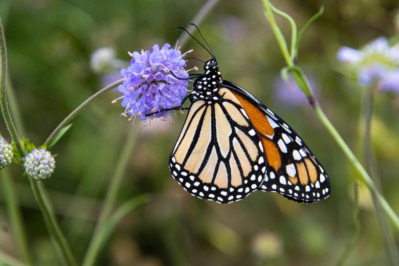 Monarch -