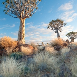 Kokerbomen bij zonsopgang