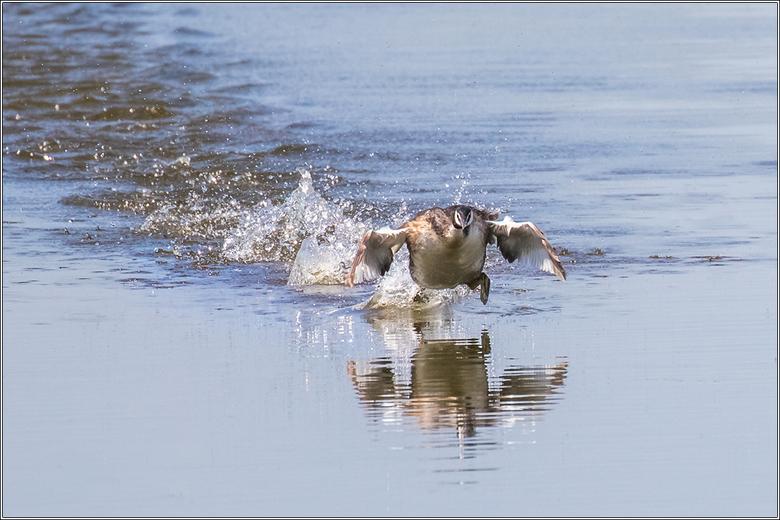 Fuut - Blijf een leuk gezicht een vogel lopend over het water.<br /> Meerkoeten zie je dat veel vaker doen dan futen.<br />